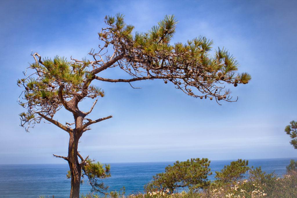Torrey Pine Tree found in San Diego California